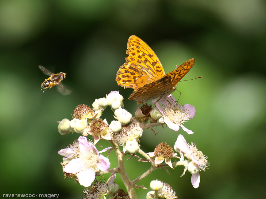 Silver-washed Fritillary and Hoverfly