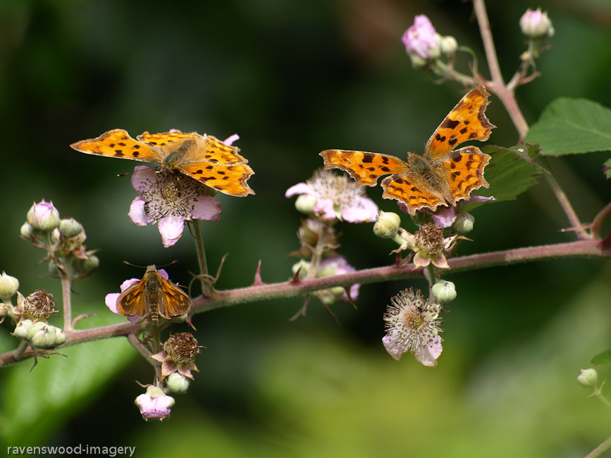 Comma's and Large Skipper on Bramble flowers