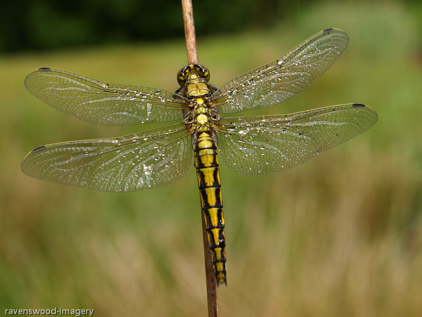 Black Tailed Skimmer Female