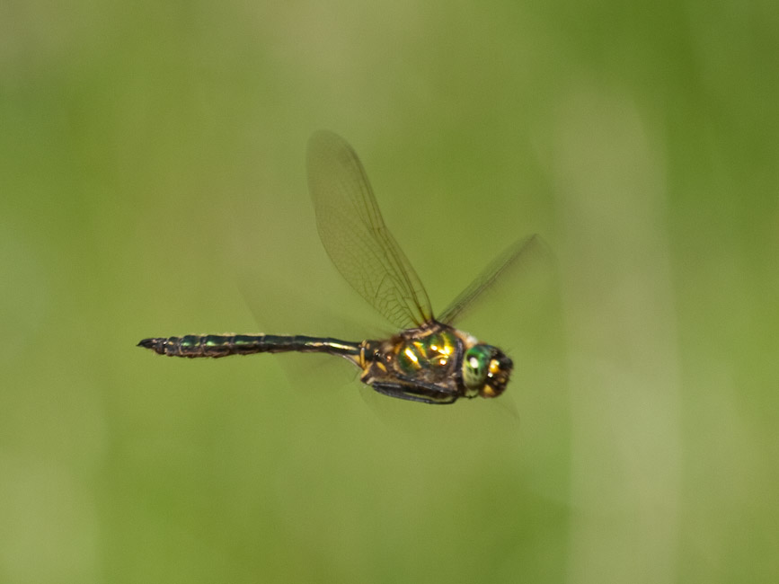 Downy Emerald in flight