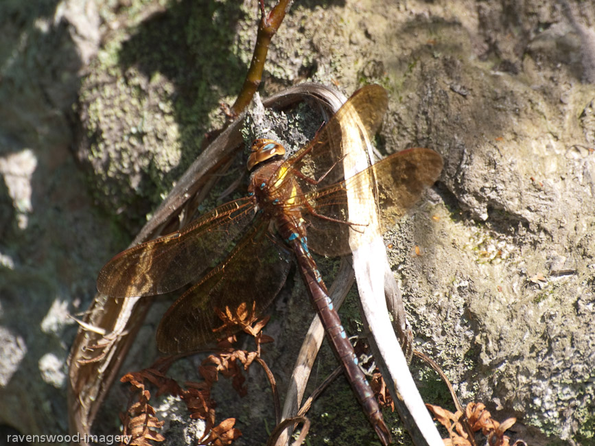 Brown Hawker at rest