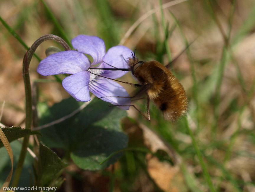 Bee Fly Feeding
